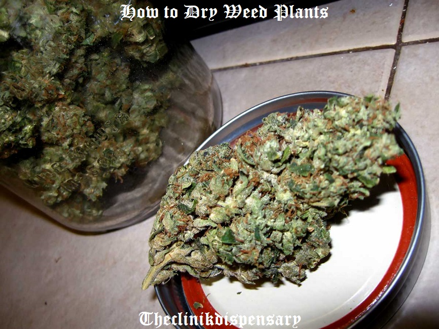 how to dry weed plants
